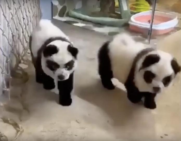 網友震怒 中國餐廳竟把狗狗染成熊貓要價六千台幣