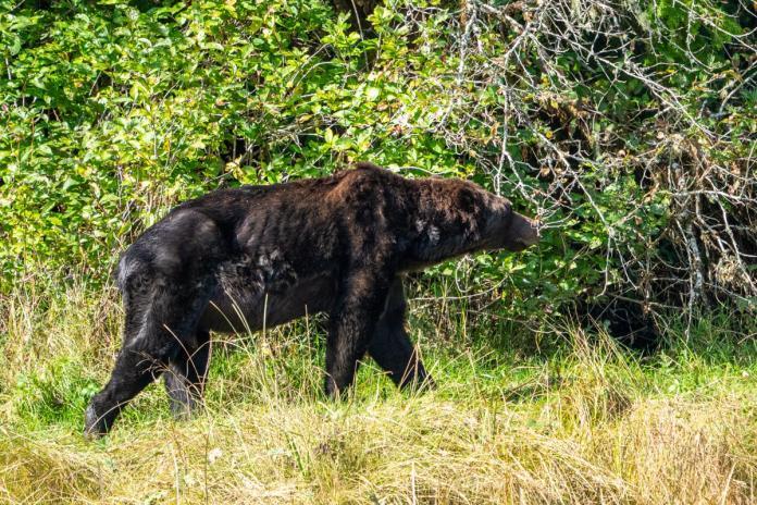 ▲因鮭魚數量銳減,加拿大攝影師拍下灰熊餓得瘦骨嶙峋的照片。(圖/翻攝Rolf Hicker - HickerPhoto臉書)