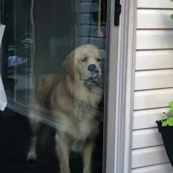 狗狗睡醒發現自己被獨留家中 超哀怨貼窗目送主人上車!