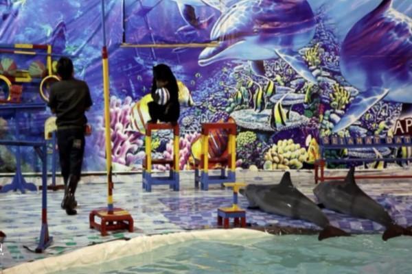 <br> 峇里島一間Melka Hotel被投訴以不當方式飼養海豚並且強迫牠們為客人表演(圖/Dolphin Project.com)