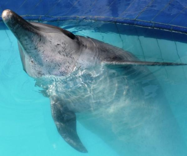 <br> 德威因不斷跳上泳池的階梯磁磚造成身上許多大大小小傷痕(圖/Dolphin Project.com)
