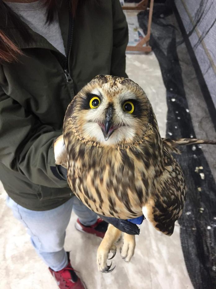保育類短耳鴞機場掛網受傷 金管處今日<b>野放</b>重返大自然