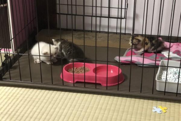 <br> 擔心小奶貓們的安危,推主只好先全數帶回家安置(圖/twitter@BlackBox514)