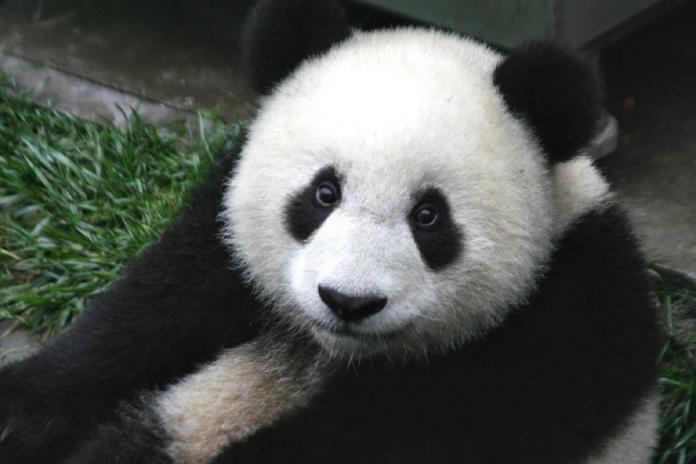 真的有工讀生?網路瘋傳<b>300萬</b>徵人扮熊貓 動物園回應了