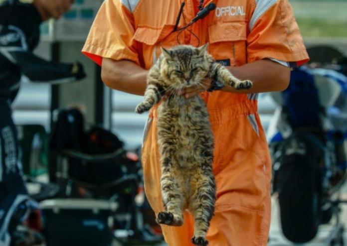 日本賽車場貓咪我行我素 擋人做事被請出場網笑翻!