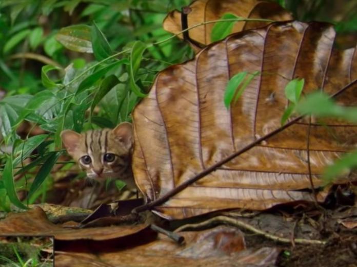 最迷你喵星人「鏽斑豹貓」 童顏奶音卻爬樹游泳樣樣精!