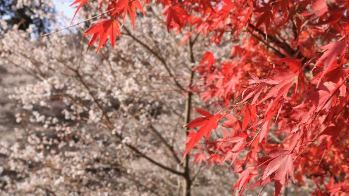 <br> ▲小原交流公園居然還能同時看見楓紅及盛開的櫻花。(圖/小原公園)