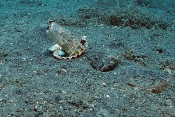 <br> 保羅與友人在印尼海域發現一隻小章魚竟然以塑膠杯當殼(圖/翻攝自YT@Pall Sigurdsson)