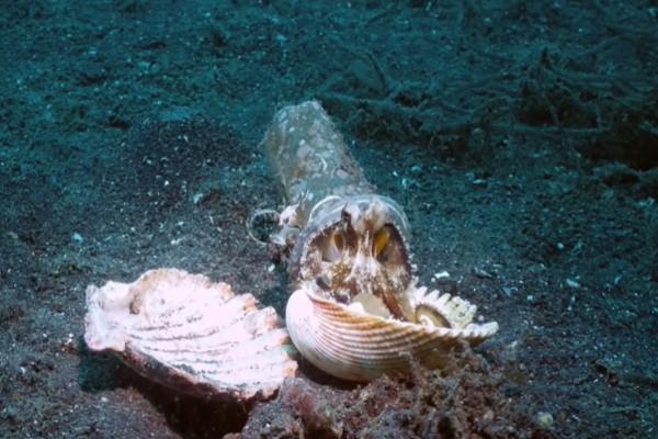 <br> 這次終於找到合適的貝殼,小章魚立刻就住進去(圖/翻攝自YT@Pall Sigurdsson)