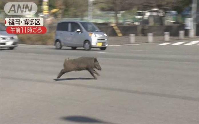 小豬也要趕飛機!<b>福岡</b>機場驚見「豬突猛進」