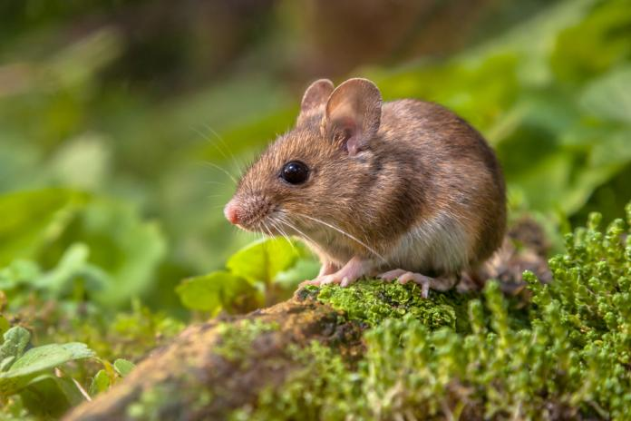 mouse shutterstock_250802287
