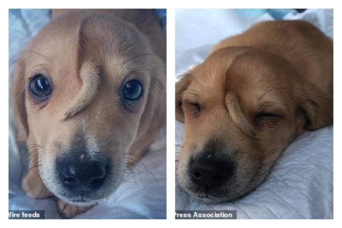 <br> ▲美國一隻遭人棄養、「頭上長尾巴」的小狗,在網路上爆紅。(圖/翻攝自《每日郵報》)