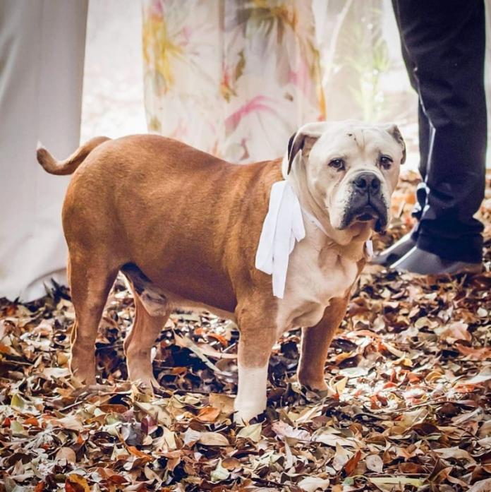 <br> 迪賽爾是隻特立獨行的狗狗,兩人也很擔心牠會搗亂,雖然讓牠出現在婚禮上有一定程度的風險,但還是希望牠能現身這個重要的日子。 (圖/Matthew Howard)