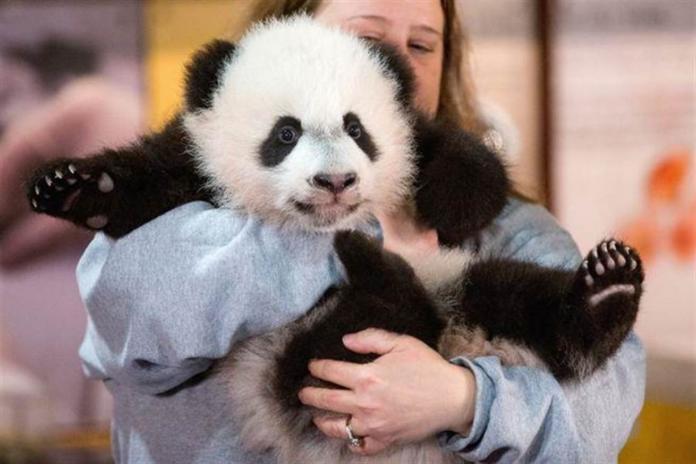 加拿大將兩隻<b>貓熊</b>歸還中國 動物園:這是一個困難的決定