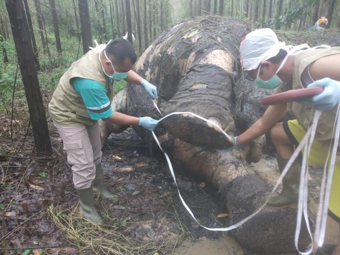 蘇門答臘象遭殘忍虐殺