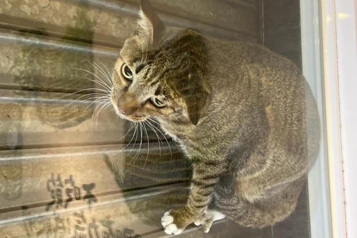 ▲貓咪「漂浮」在鐵門與玻璃門中間。(圖/翻攝自老士林烤肉飯-內湖店臉書)