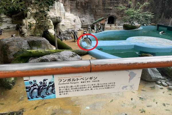 <br> 新型詐欺犯!聰明夜鷺為了魚 混進動物園偽裝企鵝騙吃騙喝