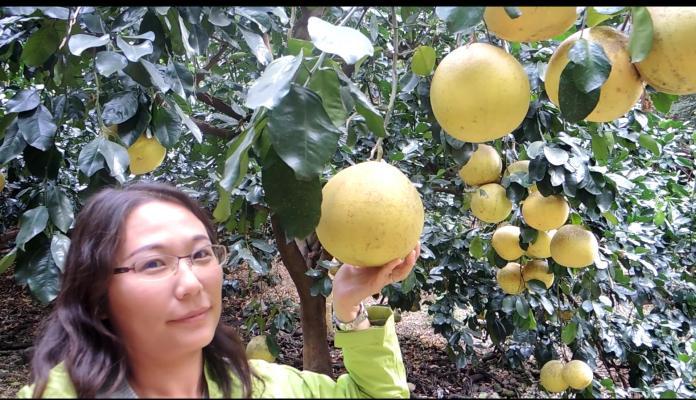<br> ▲二水鄉白柚種植面積有120公頃,有「白柚的故鄉」之稱,每年在節氣「霜降」後進入產季。(圖/記者陳雅芳攝,2019.11.23)