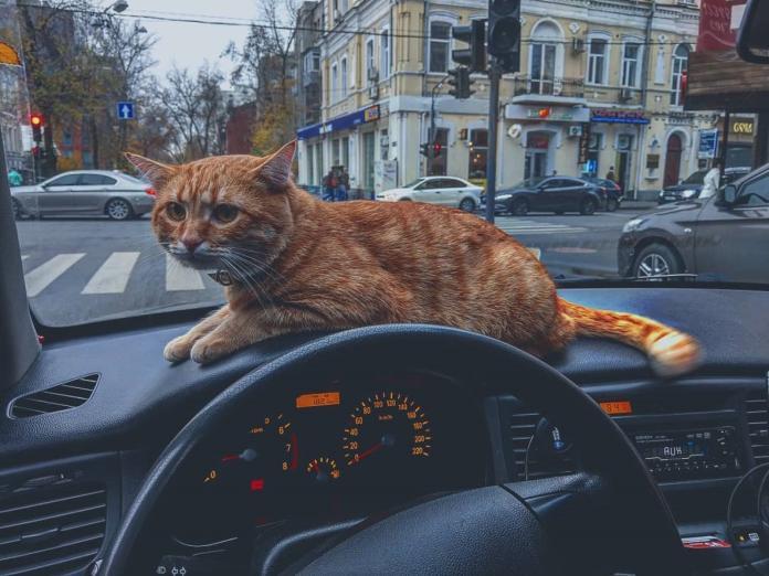 叫車嗎?貓咪計程車提供免費「摸摸茶」服務 貓奴全瘋啦!