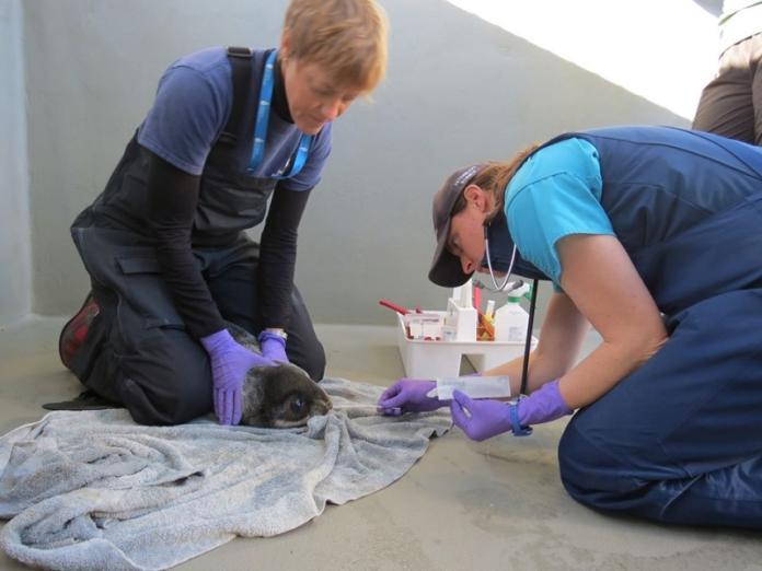 <br> 目前小海獅被安置在索薩利托的海洋哺乳動物中心Marine Mammal Center,接受獸醫檢查。 (圖/Facebook@The Marine Mammal Center)