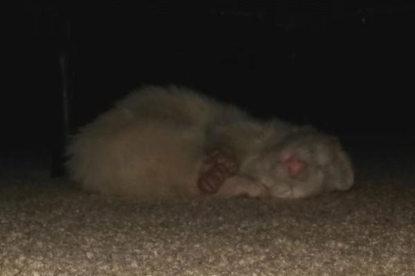 <br> 牠還毫不客氣地睡在潔西卡的床底下……(會不會太當自己家啊?)(圖/imgur@bimbumbim)