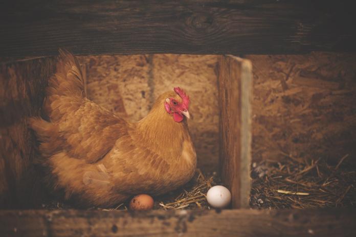 先有雞還是有蛋?學者揭曉「千年謎團」 超驚人答案曝光