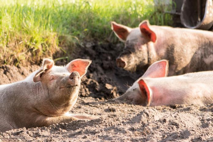 ▲豬、非洲豬瘟、豬舍。(示意圖/取自pixabay)