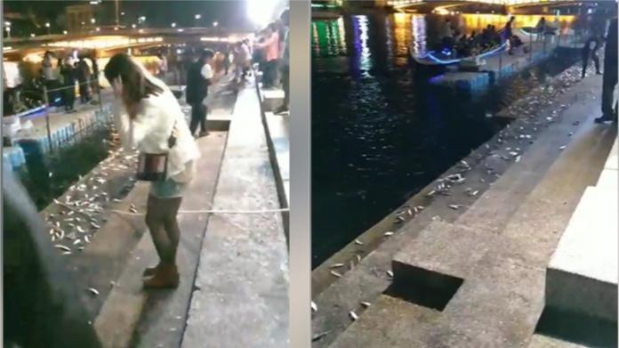▲有網友拍下愛河魚不斷跳躍上岸,稱「天有異相」。(圖/翻攝賴姓網友臉書)