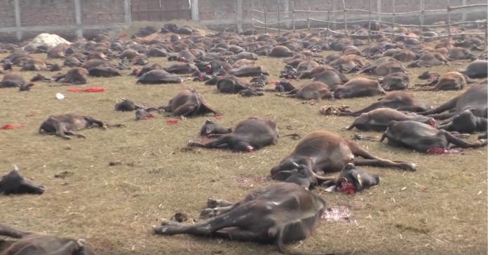 據統計,2014年加迪邁節造成餘20萬隻動物死亡。(圖片來自YouTubeGADHIMAI 2019)