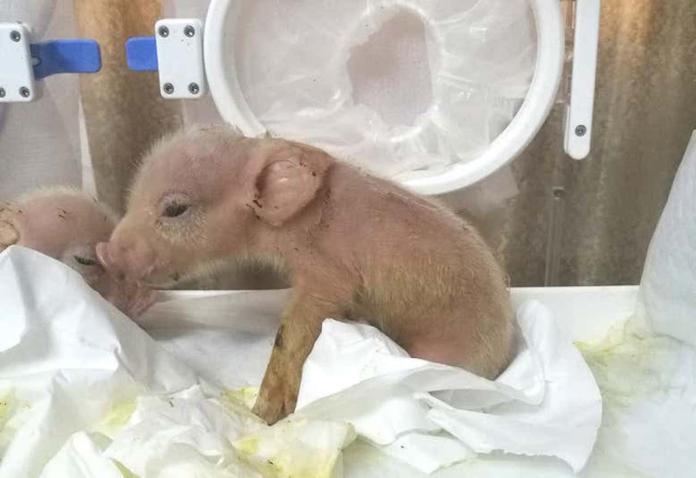 ▲中國培育出第一隻豬猴混合生物。(圖/翻攝自《新科學人》期刊)