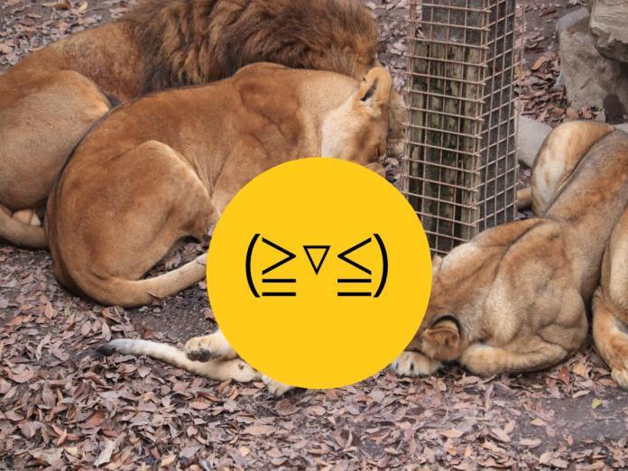 日本群馬動物園小獅子翻肚瞇眼超萌 網笑:貓咪無誤!