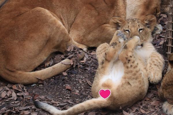 <br> 小獅子:偷聞一下腳丫子!(圖/twitter@odekakena_ko)