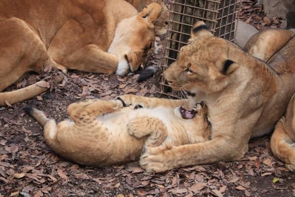 <br> 母獅:你這小孩教你幾次了,不可以這麼沒有睡相,被人類看到會以為我們是家貓!(圖/twitter@odekakena_ko)