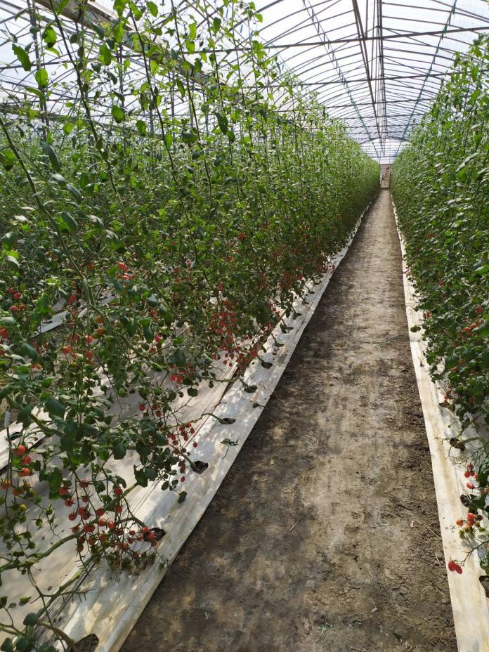 <br> ▲採溫室種植的蕃茄園,創造無毐的栽種環境,園裡還有雄蜂飛舞,幫蕃茄授粉。(圖/記者葉靜美攝,2019.12.10)