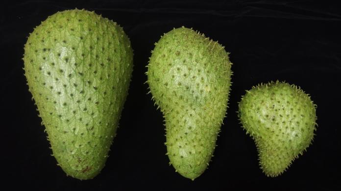 ▲刺番荔枝人工授粉(左)與自然授粉果實(中、右)的外觀比較。(圖/農委會提供)