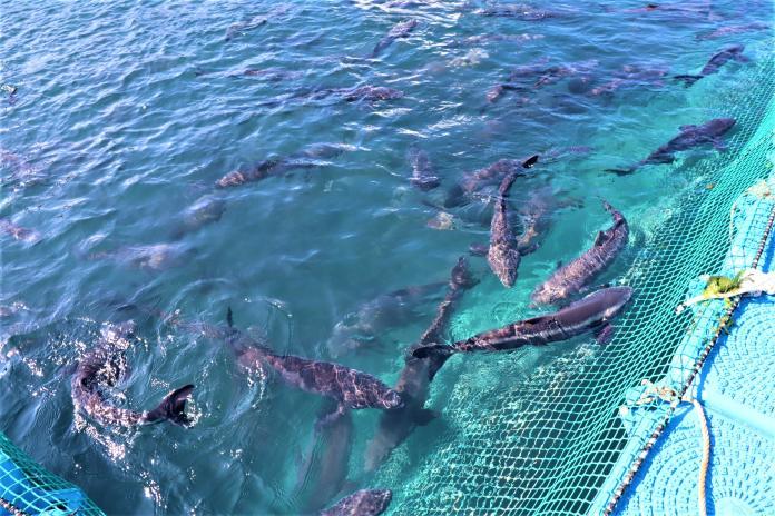 ▲澎湖海域因為有黑潮支流經過,水溫可比內灣高約2℃,而這2℃就是海鱺魚活命的關鍵。(圖/記者張塵攝,2019.12.16)