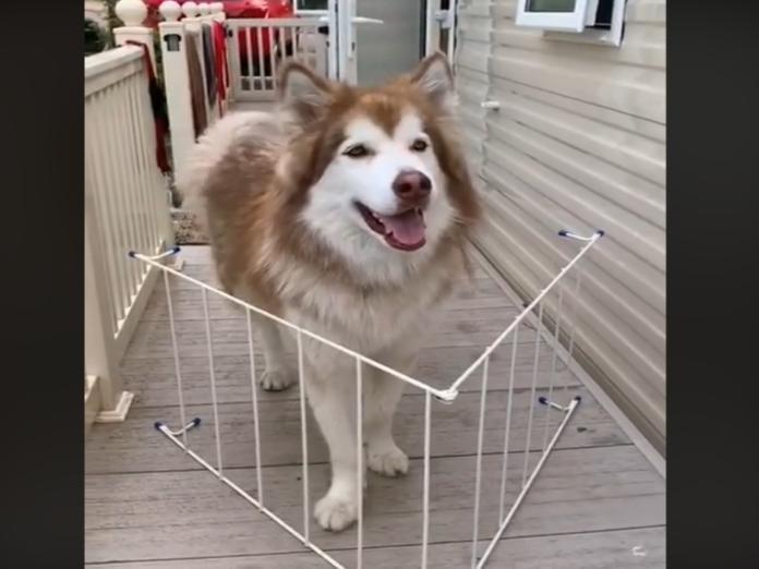 阿拉斯加雪橇犬宙斯(圖/FB@Zeus the Malamute)