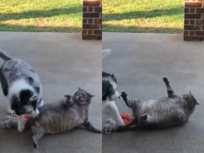 胖貓被偷襲想反擊卻無法翻身 網:這隻是海豹吧!