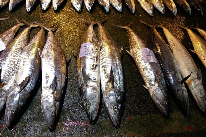 ▲「澎湖白金」之稱的土魠魚漁汛,隨著氣候慢慢變冷產量越來越多。(圖/記者張塵攝,2019.12.21)