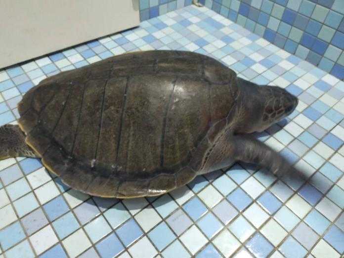 迷途保育欖蠵龜 海巡野放助團圓