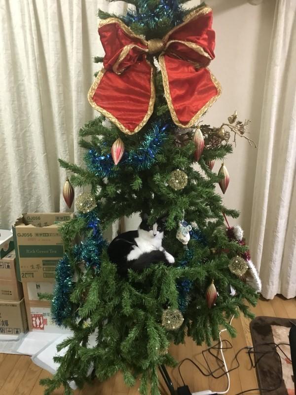 <br> 當主人發現的時候,聖誕樹已經變成貓咪的窩(圖/twitter@tyih_1950)