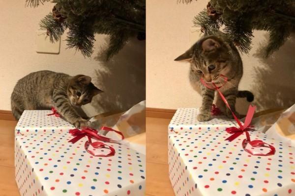 <br> 禮物才剛放上去臭貓咪你怎麼就開拆了啊!(圖/twitter@omochi_nam01)