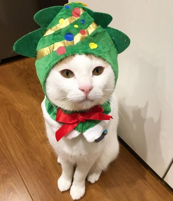 <br> 看來也只能用這種方式才能讓貓咪跟聖誕樹一起過節日了!(圖/twitter@ipplus_PR)