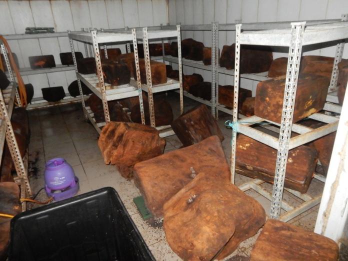 盜伐50公噸 擒獲歷年最大山老鼠
