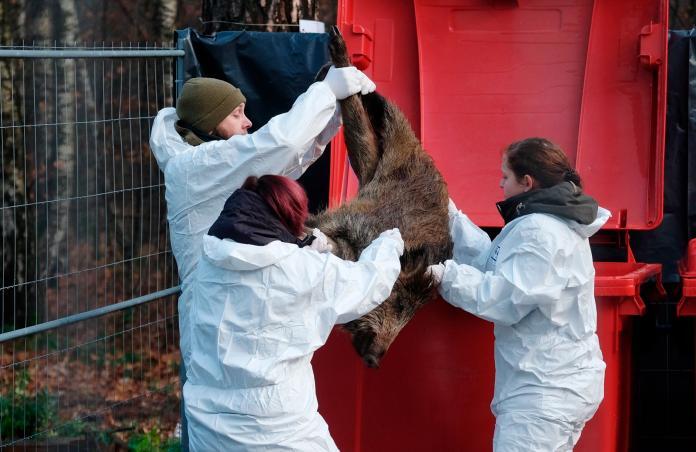 <br> ▲ 2019 年 12 月,德國薩克森邦發現疑似病死的野豬,當局嚴加防範可能疫情。(圖/美聯社/達志影像)