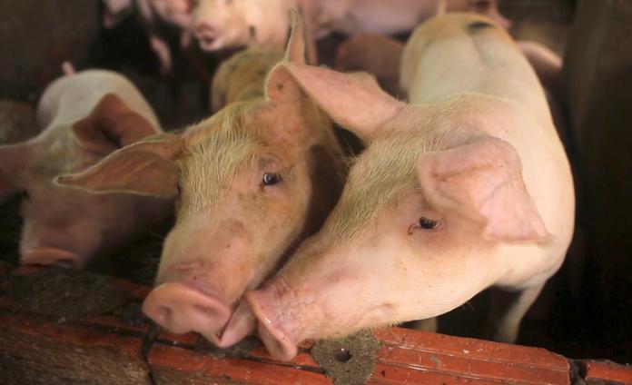 ▲ 2018 年下半年在中國大陸爆發的非洲豬瘟疫情, 2019 年仍繼續在亞洲多國延燒。(圖/美聯社/達志影像)