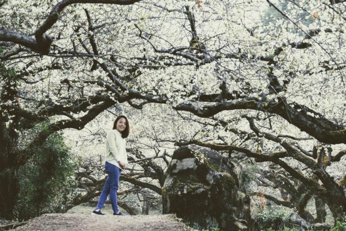 <br> ▲桐子林的老梅蒼勁有型。(圖/陳汶彬攝影)