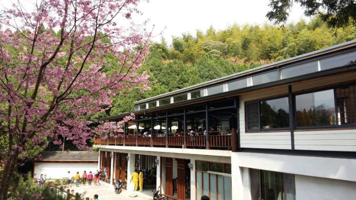 <br> ▲寒溪呢的櫻花在過年期間將花團錦簇。(圖/陳汶彬攝影)