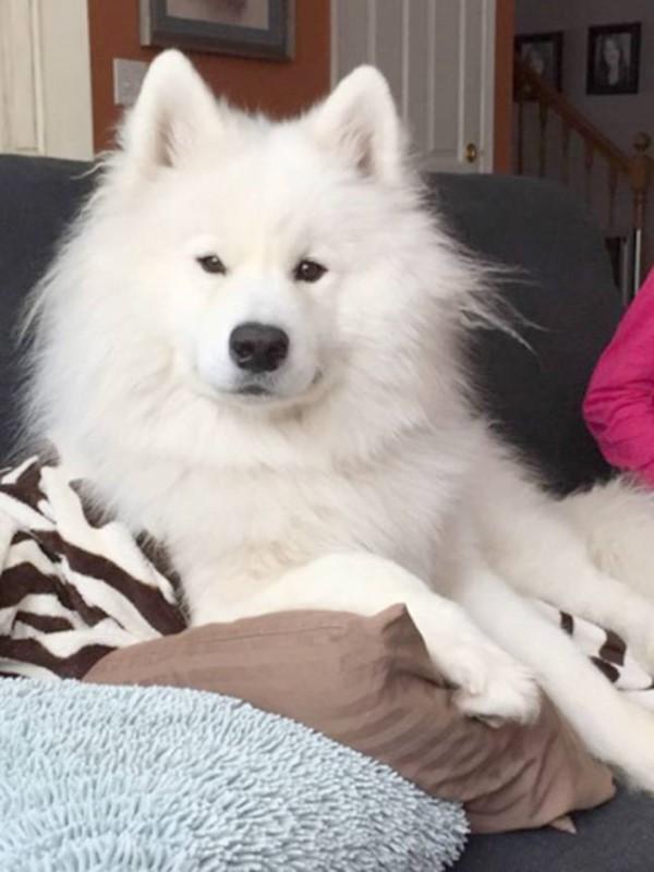 <br> 白色薩摩耶那駑克擁有一身飄逸毛髮,主人卡莉認為牠的毛有點過蓬,於是帶牠到寵物美容院稍微整理一下(圖/Caters News Agency)