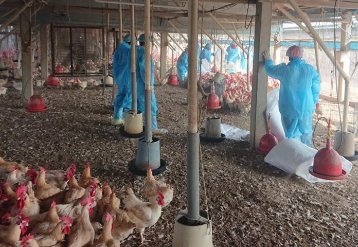 斗南一養雞場感染H5N2 2020年首日<b>撲殺</b>2萬多隻